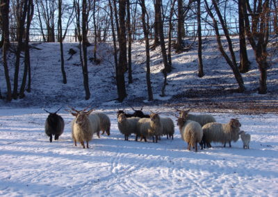 Park ovce zima 01
