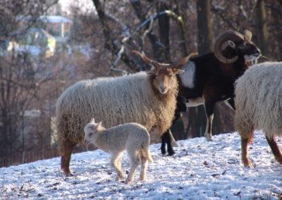 Park ovce zima 02